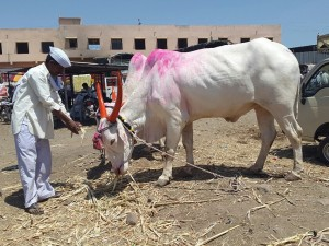 With An Unforgiving Drought, A Cattle Crisis In Marathwada