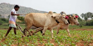 Farmers Struggle For Fresh Ideas As Green Fades In Punjab