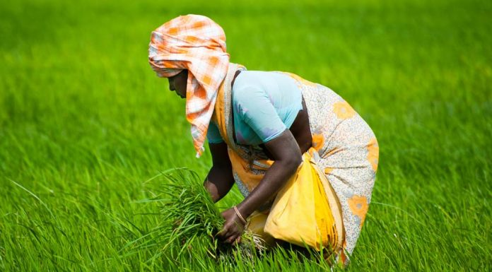 Battling Century's Worst Drought, Tamil Nadu Farmers Revive Traditional Grains