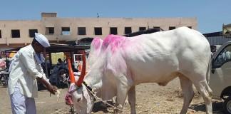 With An Unforgiving Drought, A Cattle Crisis Spreads Through Marathwada