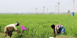 A Year After Land Return From Tata, Singur Farmers Celebrate Good Crop