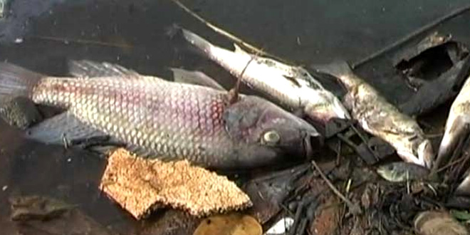 Toxic Industrial Effluents Intensely Affecting Ganga's Ecology, Hundreds Of Dead Fish Found Floating In The River Near Shukratal, Uttarakhand