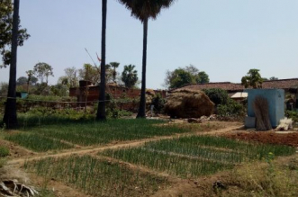 golden-manure-onion-yield-jharkhand