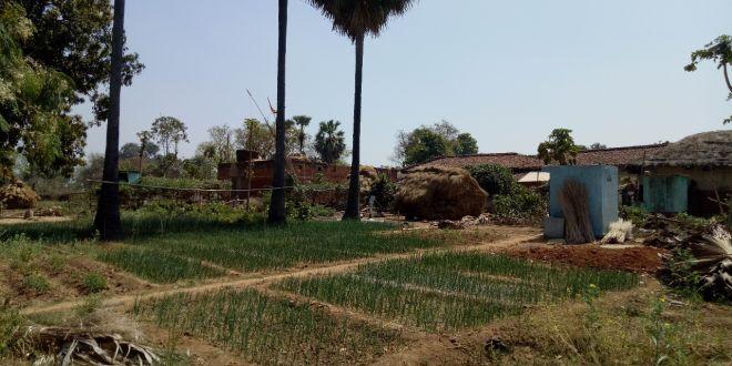 golden-manure-onion-yield-jharkhand