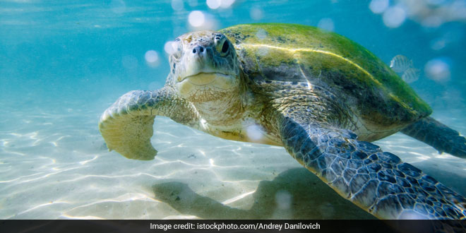 Just One Piece Of Plastic Can Kill A Sea Turtle, Shows A Recent Scientific Study