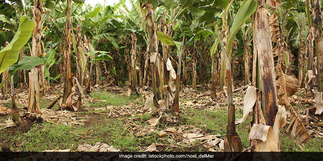 Indian-origin Researcher Finds A Way To Recycle Banana Plantation Waste Into Packaging Material