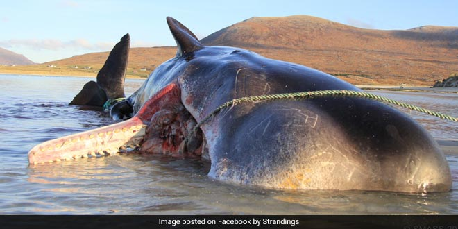 Marine Life Pays The Price Of Plastic: 100 Kilos Of Waste, Majorly Plastic Found In Dead Sperm Whale's Stomach In Scotland