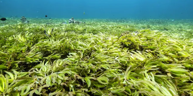 Shrinking Sea Meadows Store More Carbon Than Forests. Scientists Are Racing To Track What's Left