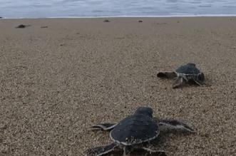 Study Suggests Baby Marine Turtles' Stomachs Are Full Of Harmful Plastic Debris